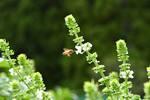 ミツバチも安心して遊びにきます