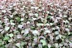 バジル、ミントなどのシソ系品種のハーブを生産