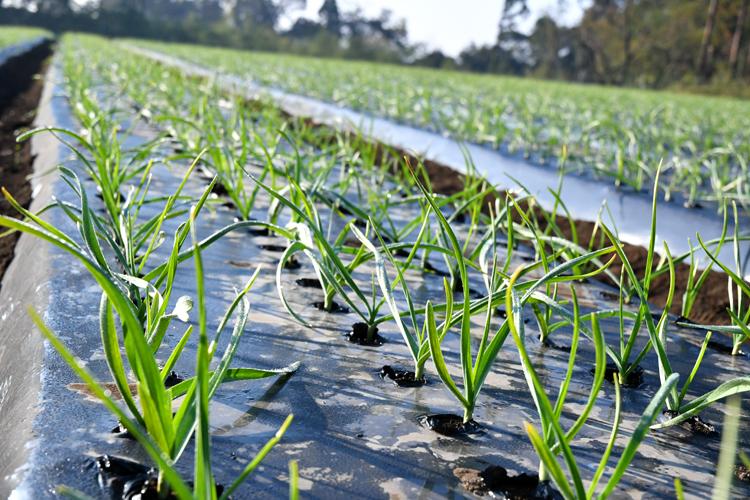 ながみね農園の生産風景。栽培期間中は農薬不使用生産に取り組んでいます