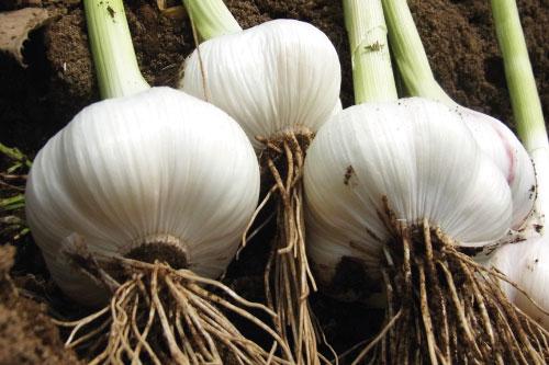 こまち農園の無農薬「にんにく」。霧島熟成黒にんにくの原料です